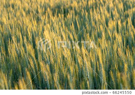 小麥被夕陽照亮(五月) 66245550
