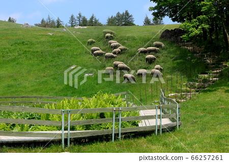 양떼목장,푸른초원,대관령,풍경,여행 66257261