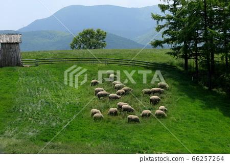 양떼목장,푸른초원,대관령,풍경,여행 66257264