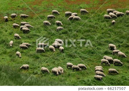 綿羊牧場,藍色草原,大關嶺,景觀,旅行 66257507