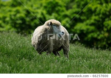 양떼목장,푸른초원,대관령,풍경,여행 66257600