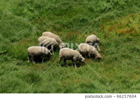 Sheep Ranch, Blue Grassland, Daegwallyeong, Landscape, Travel 66257604
