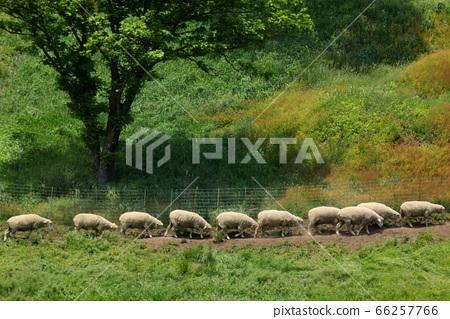 양떼목장,푸른초원,대관령,풍경,여행 66257766