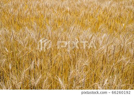 수확을 기다리는 밀밭 66260192