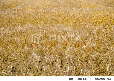 수확을 기다리는 밀밭 66260198
