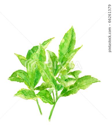 茶葉[水彩] 66261379