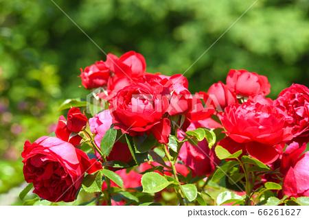 장미 꽃 플 로렌 티나 66261627