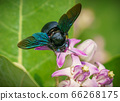 Xylocopa valga or carpenter bee on Apple of Sodom 66268175