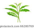 Green tea leaf isolated on white 66280769