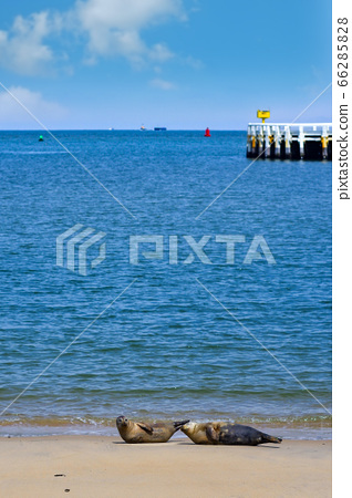奧斯坦德港附近的沙灘上躺著兩個野生海豹 66285828