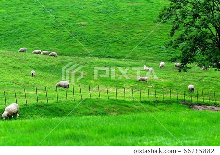 양떼목장,푸른초원,대관령,풍경,여행 66285882
