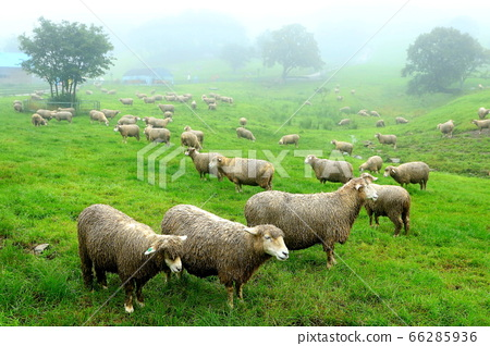 綿羊牧場,藍色草原,大關嶺,景觀,旅行 66285936