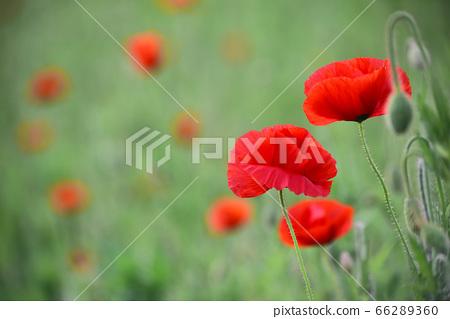 6월의 들판에 핀 꽃양귀비 66289360