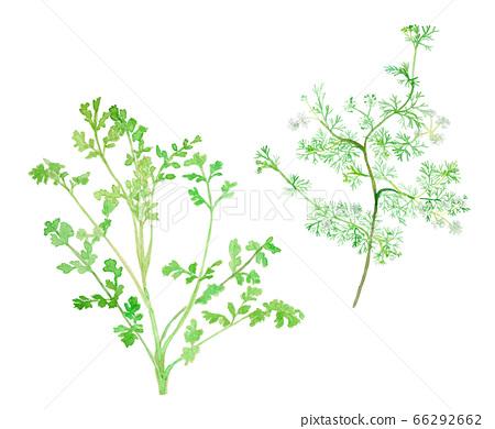 Coriandrum sativum 고수 / 박지성 / 카나 요컨대과 成葉과 꽃 66292662