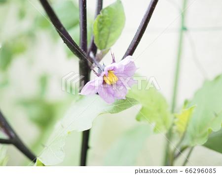 Eggplant flowers 66296085