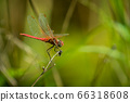 Dragonfly on grass 66318608