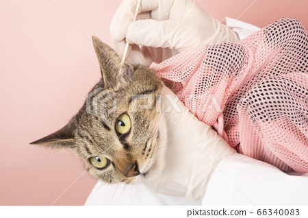 At the vet's hand cleaning the ears of the cat 66340083