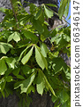 Common horse chestnut 66346147