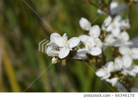 New Zealand satin flower 66346178