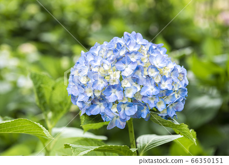 [Image of rainy season] Hydrangea 66350151