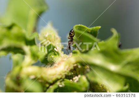 나뭇잎에 진딧물에서 감로를 받으려고하는 검은 개미 66351578