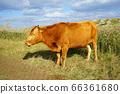 公牛 66361680