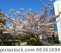櫻花盛開 66361694