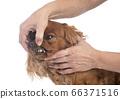 teeth of cavalier king charles 66371516