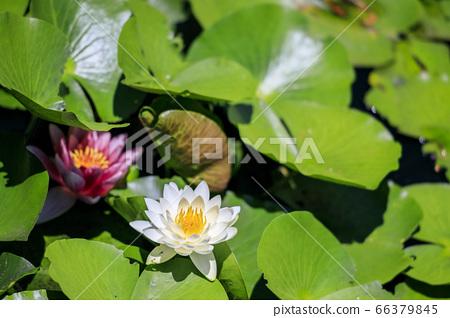滝谷 꽃 창포 원 꽃 창포와 수국 66379845