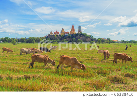Cows eating green rice and grass field at Wat Tham 66388410