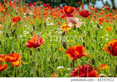 양귀비꽃이 너무 아름답다.  66397612