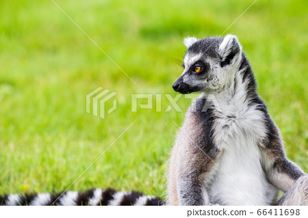 Ring-tailed lemur glances back over its striped 66411698