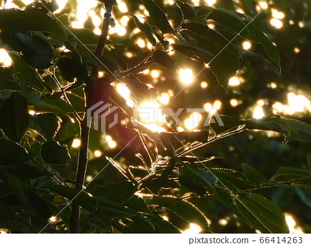 穿過樹的日落 66414263
