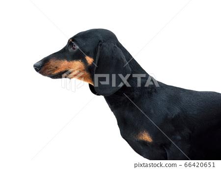 Black and tan miniature smooth dachshund 66420651