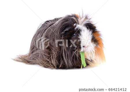 Eating guinea pig 66421412
