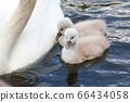 Mute swan baby 66434058
