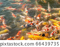 School of Koi carps fighting for a food 66439735