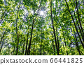森林和太陽葉 66441825