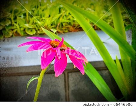 粉色雛菊 66446986
