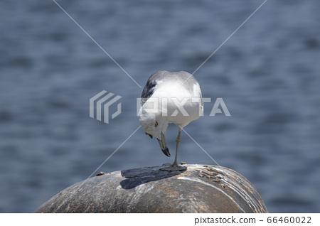 海灘海鷗休息 66460022