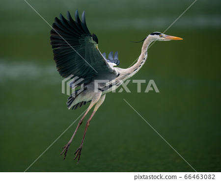 A Great Blue Heron flying over a lake in Taipei, Taiwan 66463082