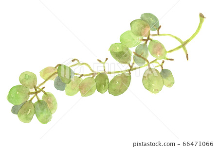 Muscat green grape watercolor 66471066