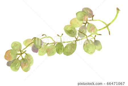 Watercolor muscat green grape bunch 66471067