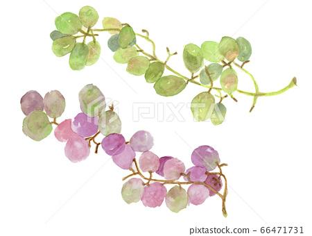 Muscat green and Kyoho purple grape watercolor 66471731