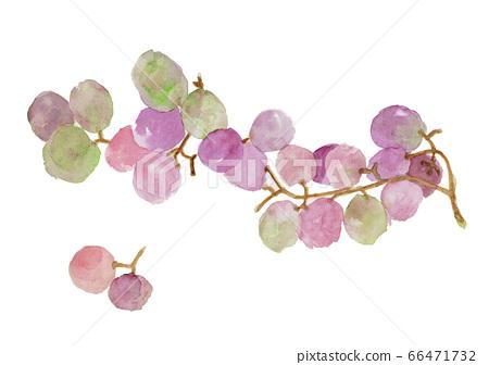 Kyoho purple grape watercolor 66471732