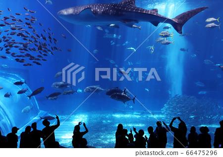 沖繩水族館鯨鯊(美麗海水族館) 66475296