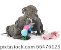 puppies staffordshire bull terrier 66476123