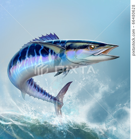 Spanish Mackerel wahoo dark blue fish big fish on white realistic illustration. Oceanic big mackerel green predatory fish with open mouth on a background of waves square format. 66480628