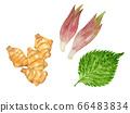 三種調味品(生味)的插圖:生薑,大葉子和生薑 66483834