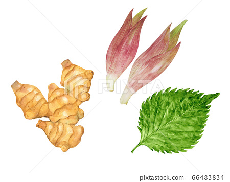 Illustration of three kinds of condiments (yakumi): ginger, large leaves, and ginger 66483834